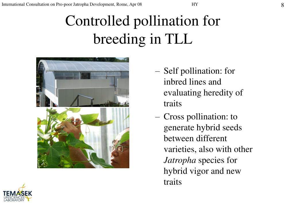 Self pollination: for inbred lines and evaluating heredity of traits