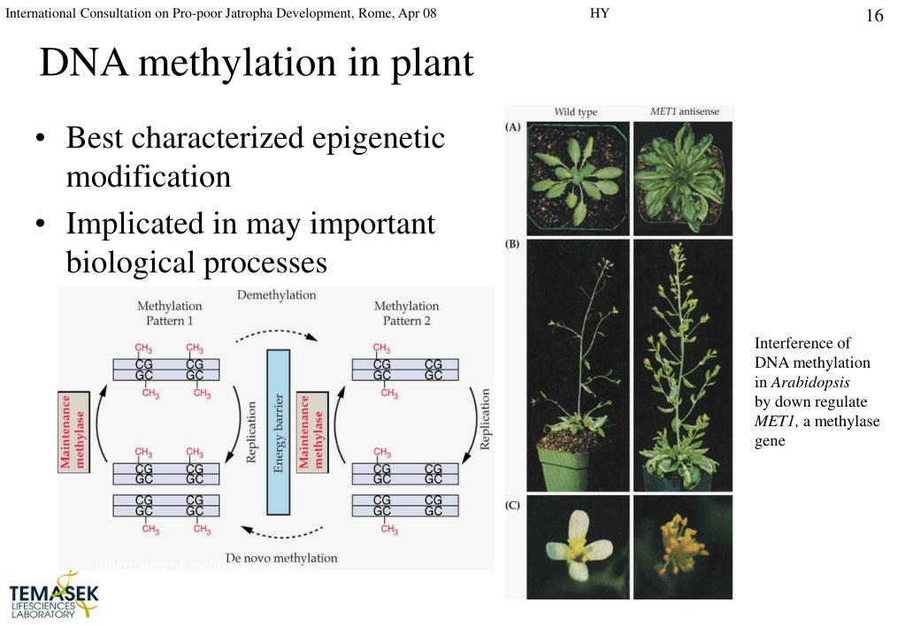 DNA methylation in plant