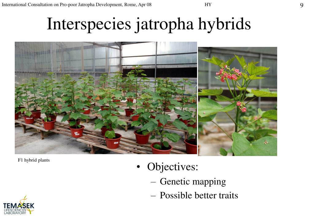 Interspecies jatropha hybrids