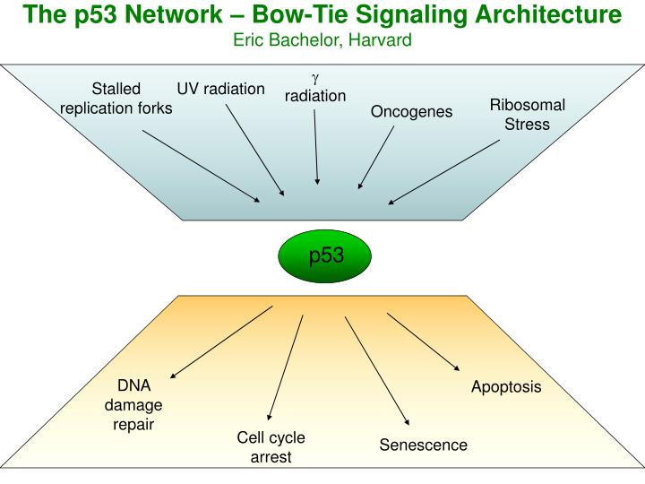 The p53 Network – Bow-Tie Signaling Architecture