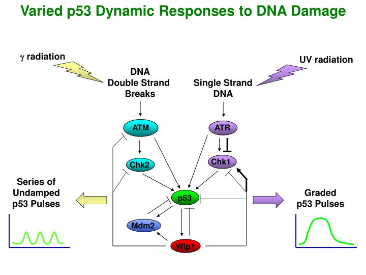 Varied p53 Dynamic Responses to DNA Damage