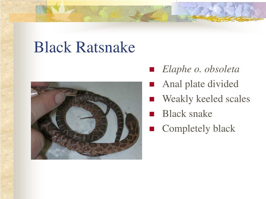 Black Ratsnake