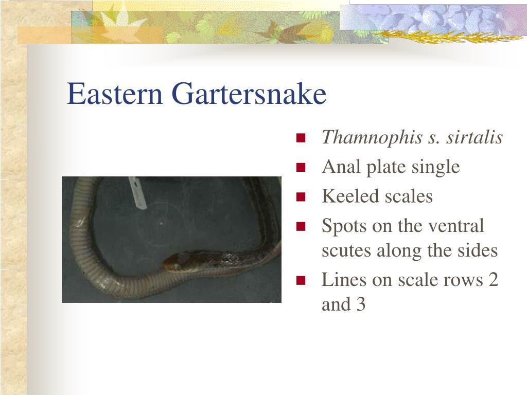 Eastern Gartersnake