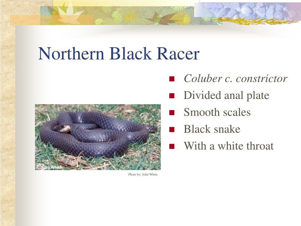 Northern Black Racer