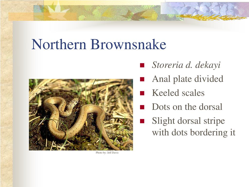 Northern Brownsnake