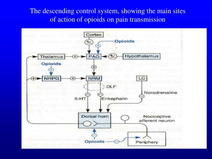 The descending control system, showing the main sites of action of opioids on pain transmission