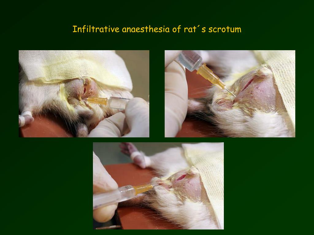Infiltrative anaesthesia of rat´s scrotum