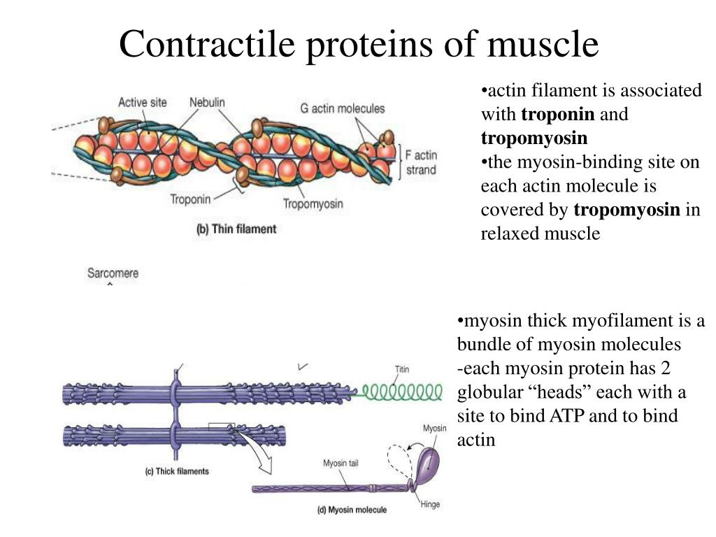 Contractile proteins of muscle