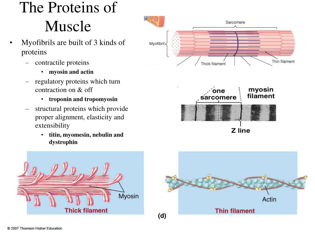 The Proteins of Muscle