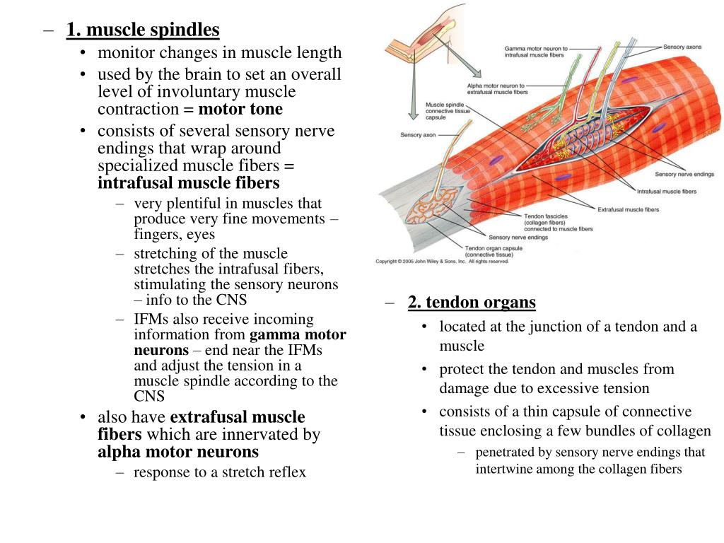 1. muscle spindles