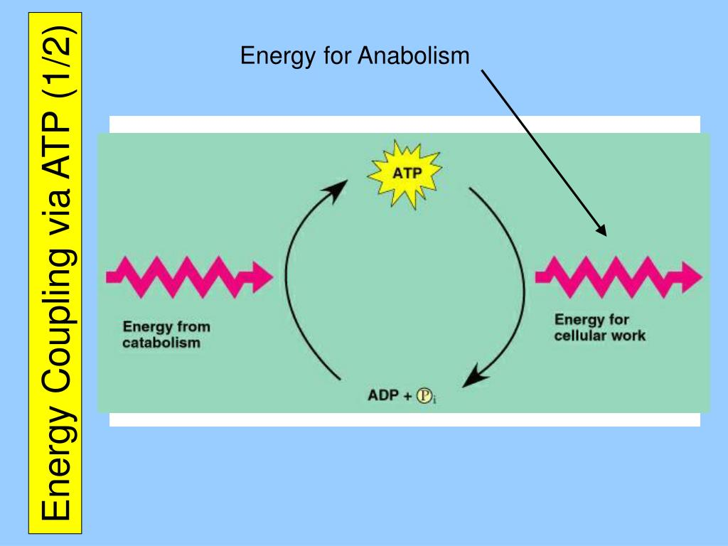 Energy for Anabolism