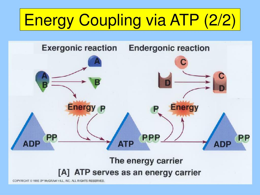Energy Coupling via ATP (2/2)