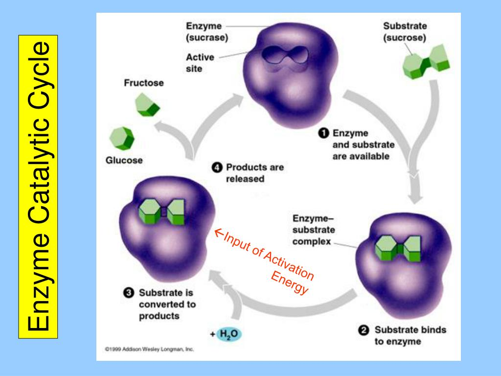 Enzyme Catalytic Cycle