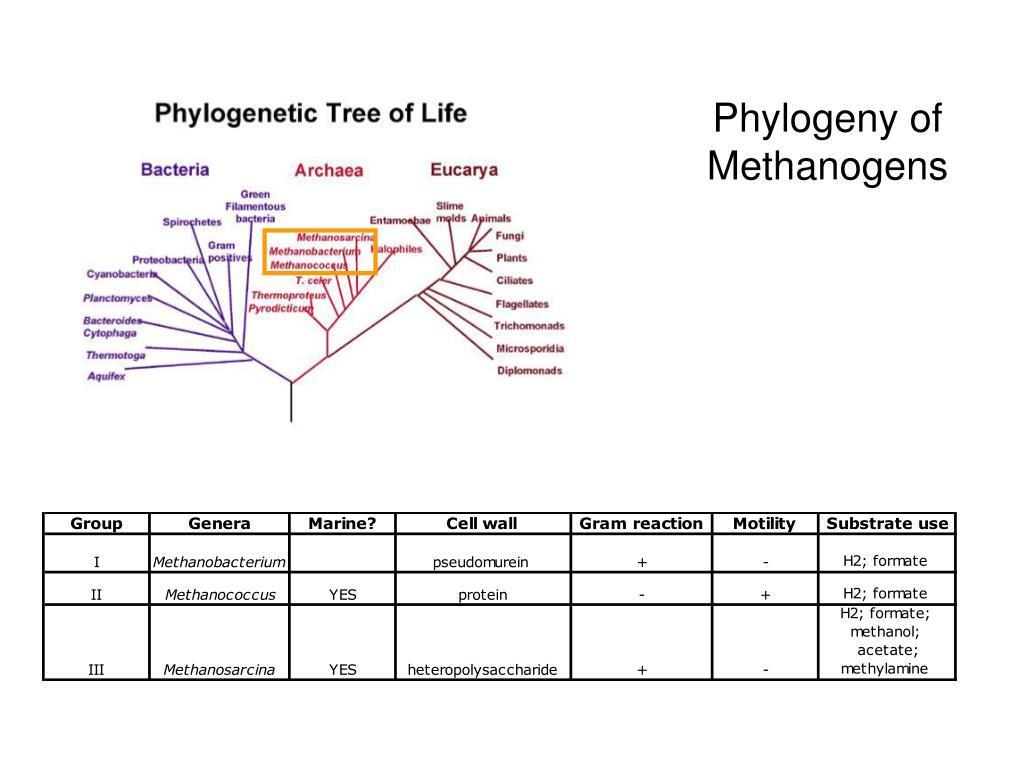 Phylogeny of Methanogens