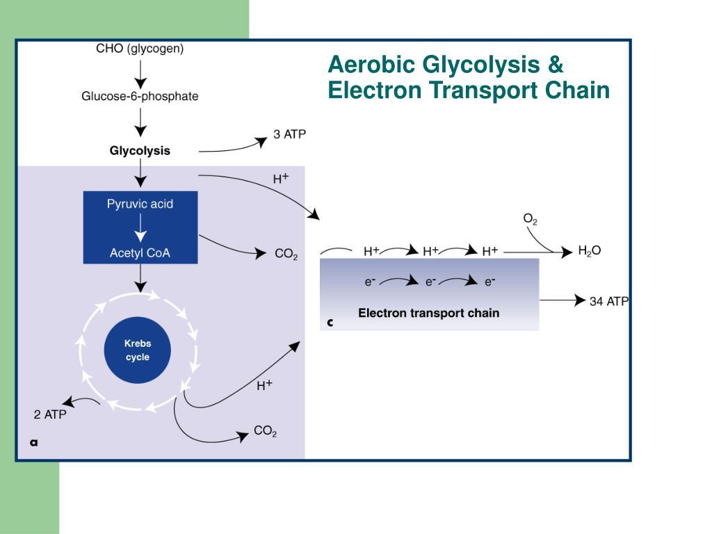 Aerobic Glycolysis &