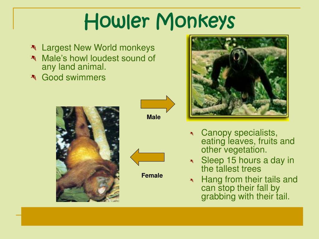 Largest New World monkeys