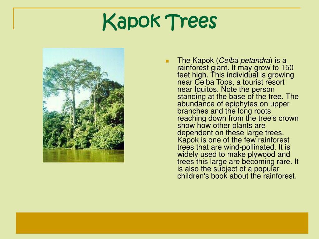 Kapok Trees