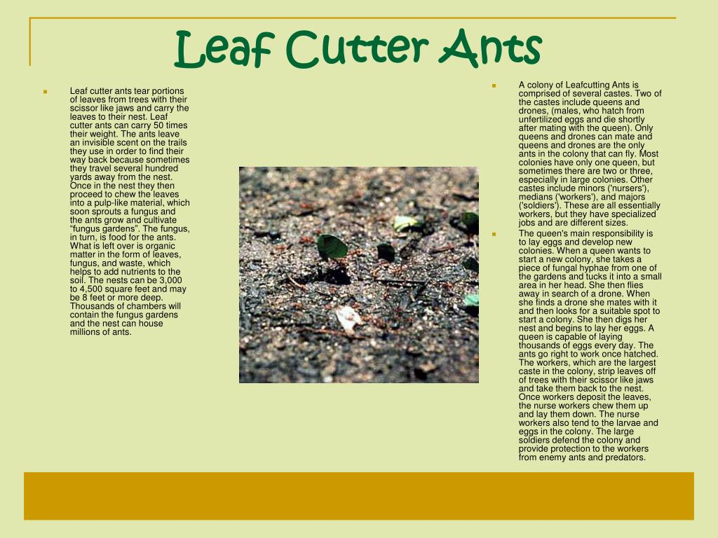 """Leaf cutter ants tear portions of leaves from trees with their scissor like jaws and carry the leaves to their nest. Leaf cutter ants can carry 50 times their weight. The ants leave an invisible scent on the trails they use in order to find their way back because sometimes they travel several hundred yards away from the nest. Once in the nest they then proceed to chew the leaves into a pulp-like material, which soon sprouts a fungus and the ants grow and cultivate """"fungus gardens"""". The fungus, in turn, is food for the ants. What is left over is organic matter in the form of leaves, fungus, and waste, which helps to add nutrients to the soil. The nests can be 3,000 to 4,500 square feet and may be 8 feet or more deep. Thousands of chambers will contain the fungus gardens and the nest can house millions of ants."""