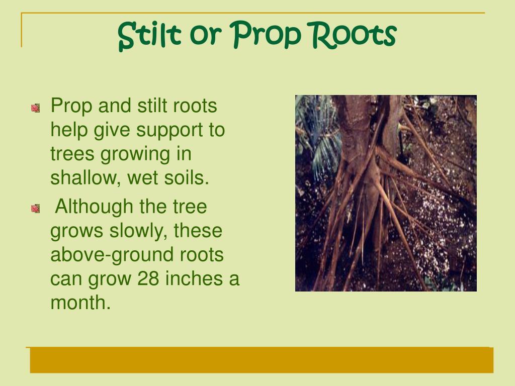 Stilt or Prop Roots