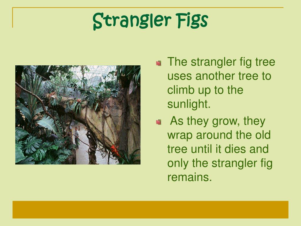 The strangler fig tree uses another tree to climb up to the sunlight.