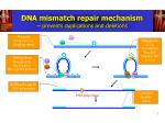 dna mismatch repair mechanism prevents duplications and deletions