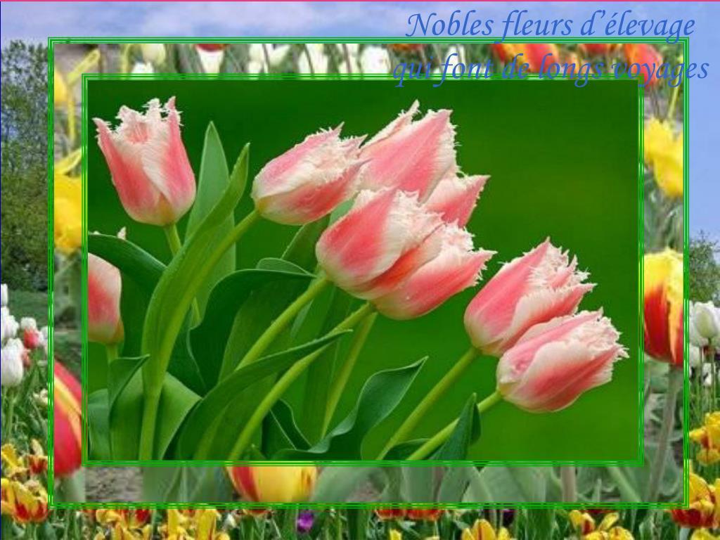 Nobles fleurs d'élevage qui font de longs voyages