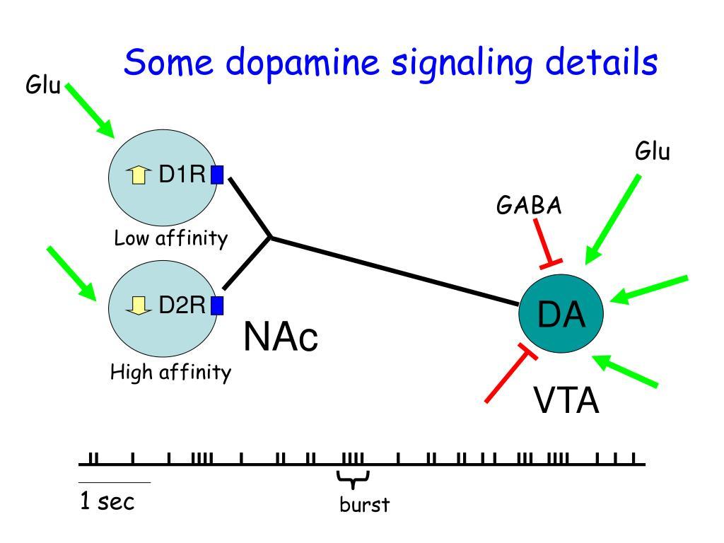 Some dopamine signaling details