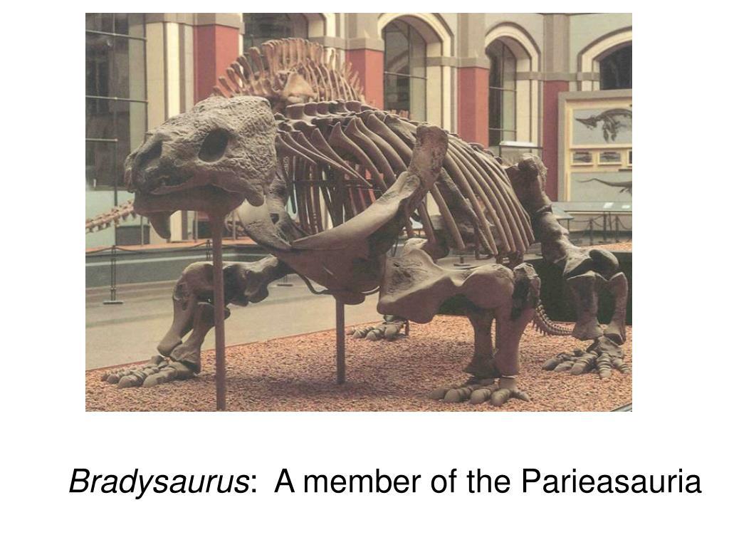 Bradysaurus