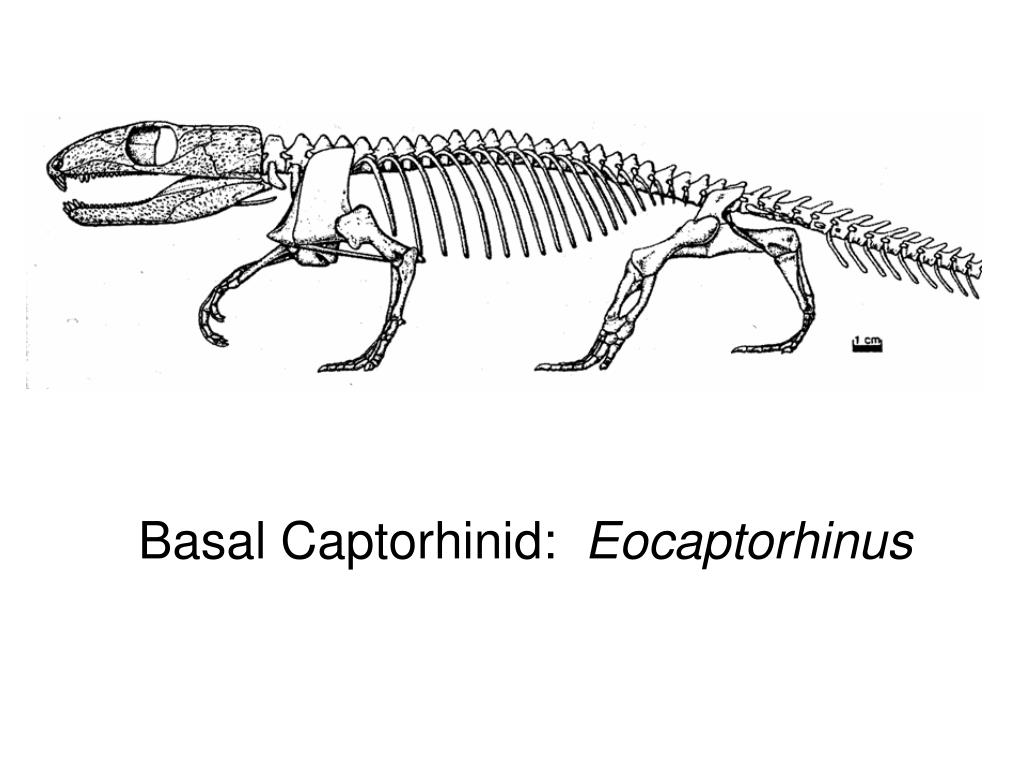 Basal Captorhinid: