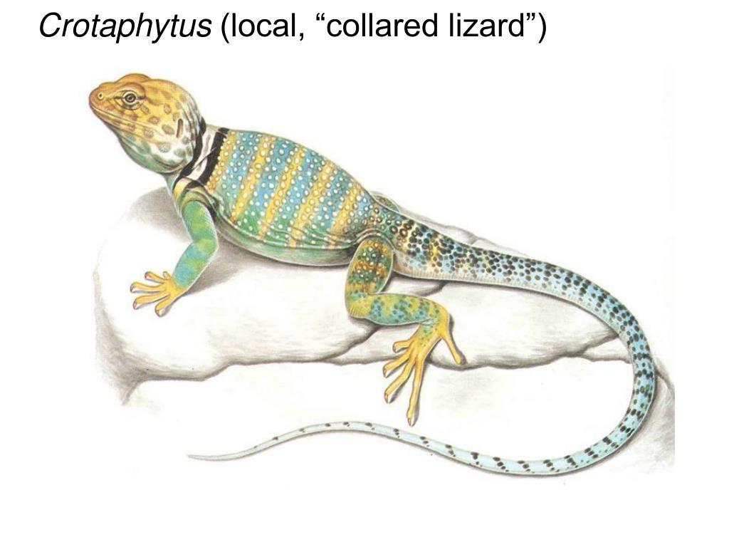 Crotaphytus