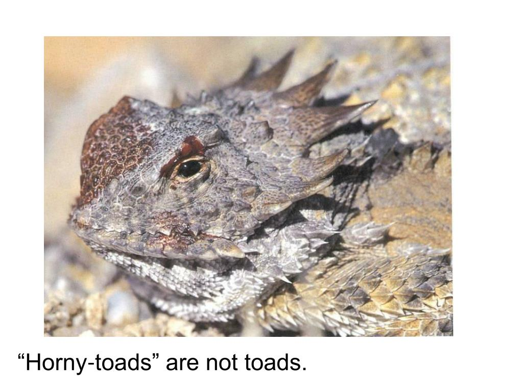 """""""Horny-toads"""" are not toads."""
