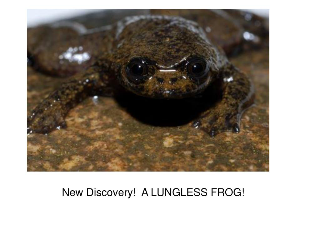 New Discovery!  A LUNGLESS FROG!