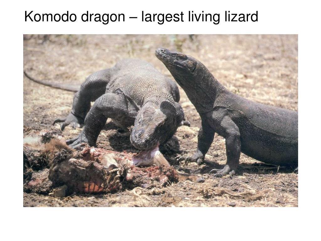Komodo dragon – largest living lizard