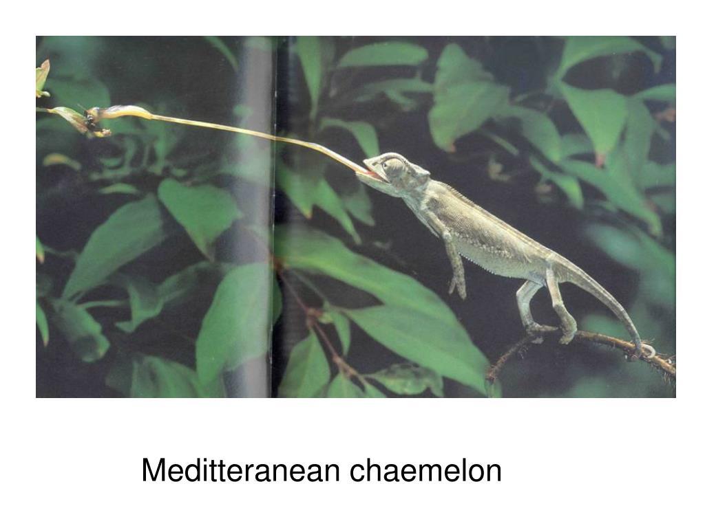 Meditteranean chaemelon