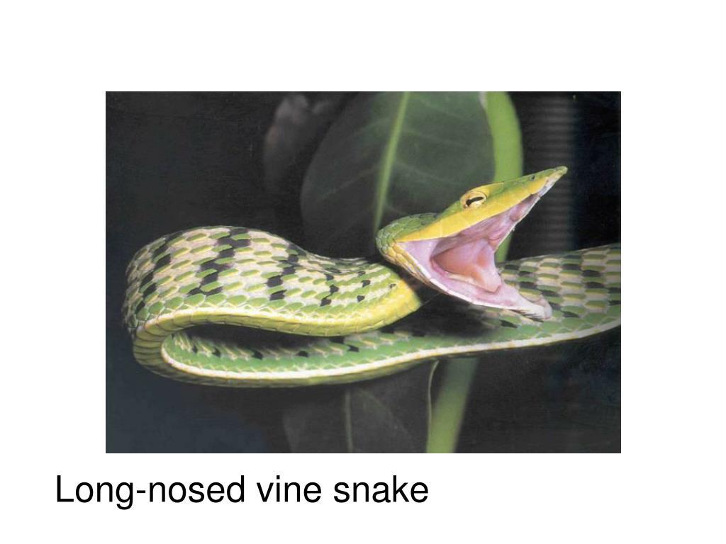 Long-nosed vine snake