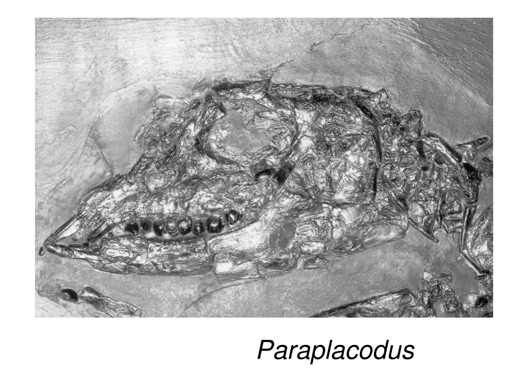 Paraplacodus