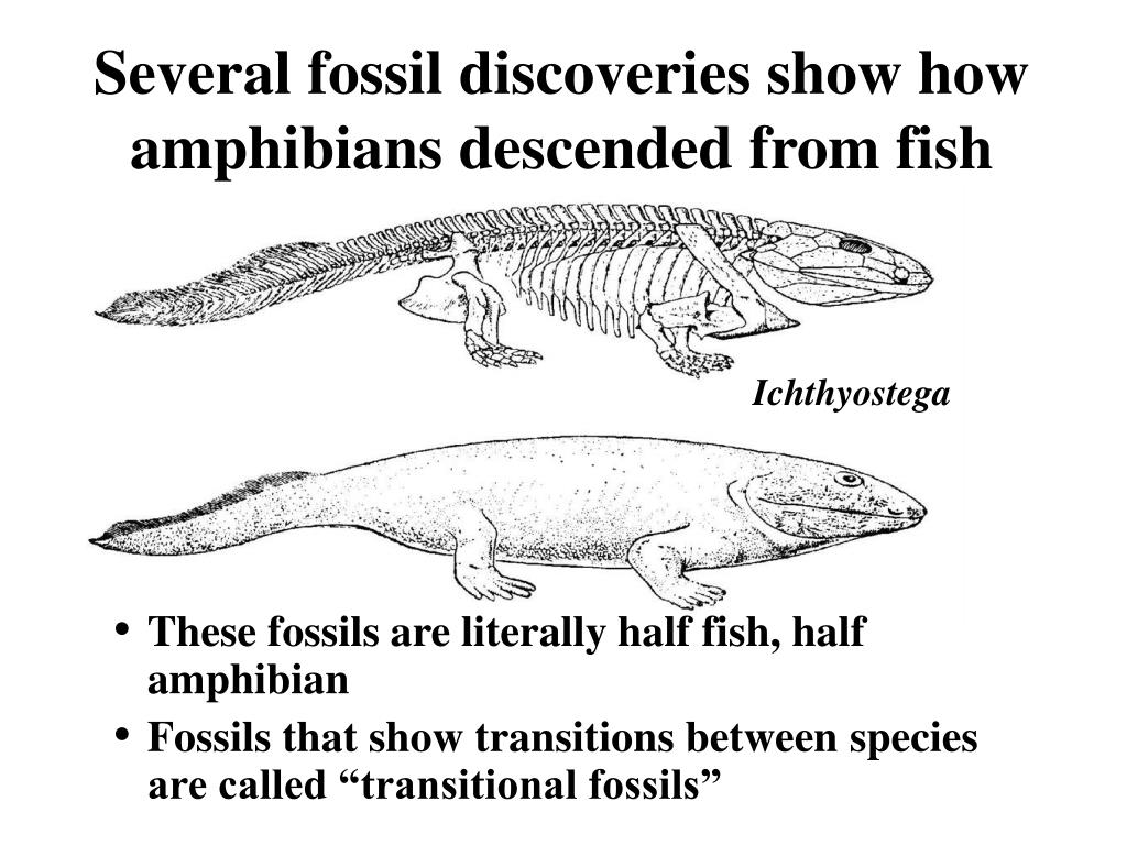 Several fossil discoveries show how amphibians descended from fish
