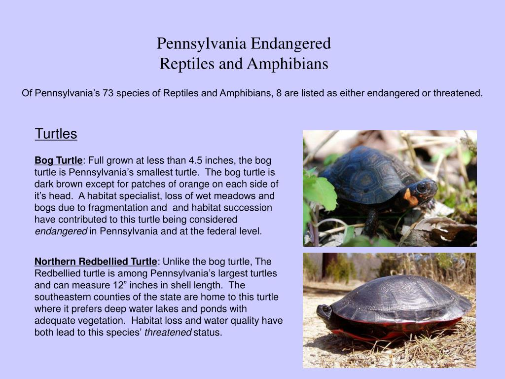 pennsylvania endangered reptiles and amphibians