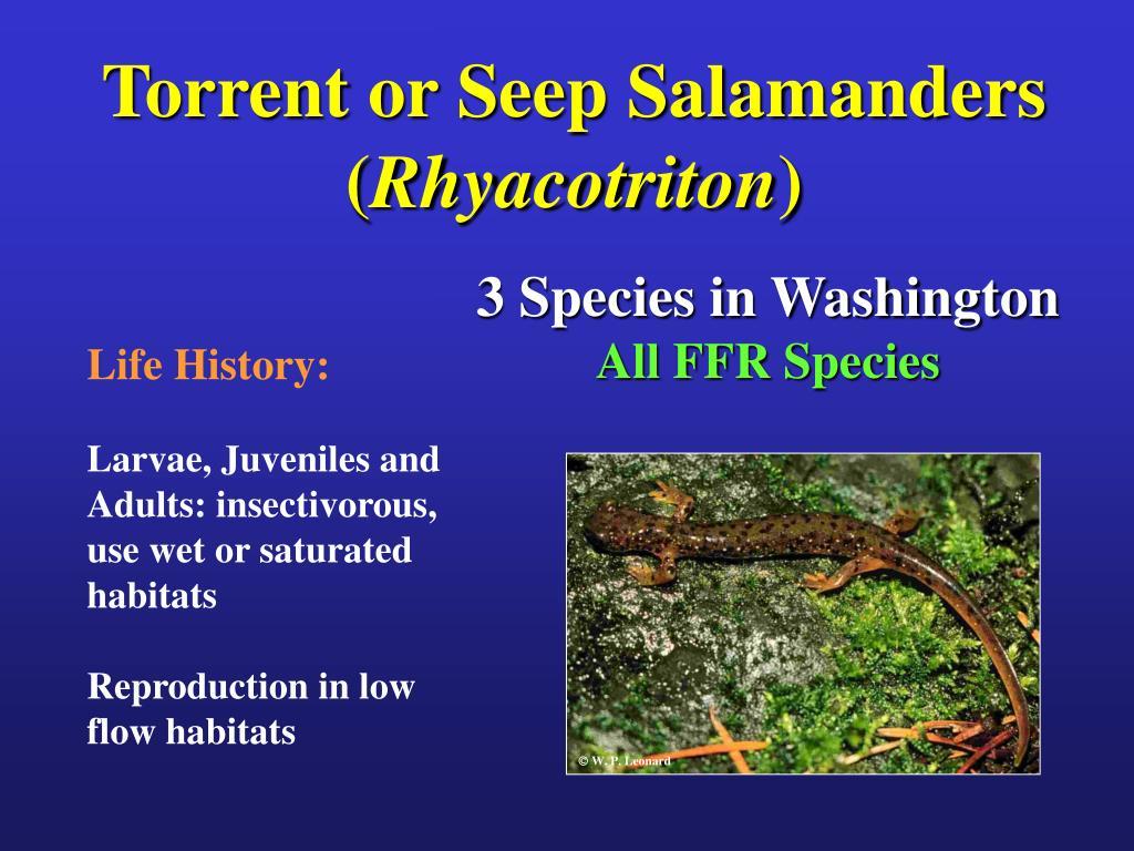 Torrent or Seep Salamanders