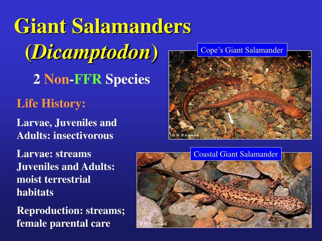 Giant Salamanders