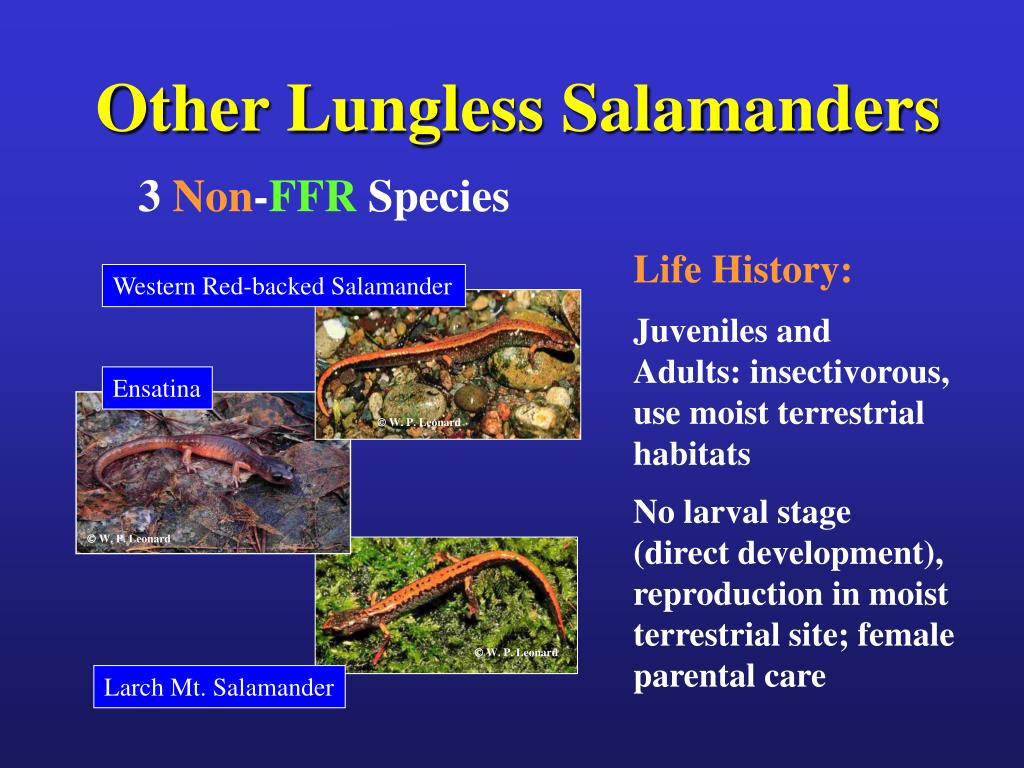 Other Lungless Salamanders