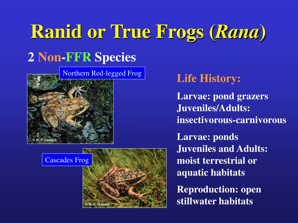 Ranid or True Frogs (