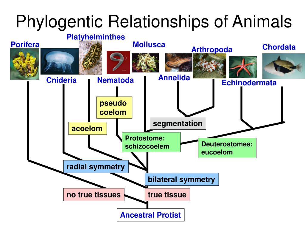 Phylogentic Relationships of Animals