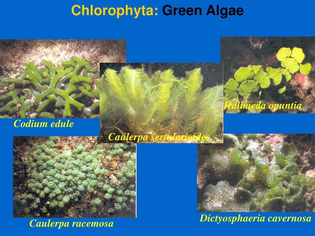 Chlorophyta: