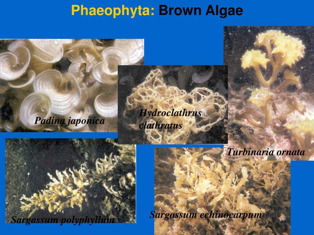 Phaeophyta: