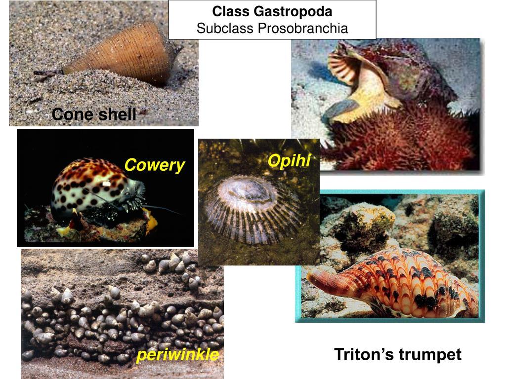 Class Gastropoda