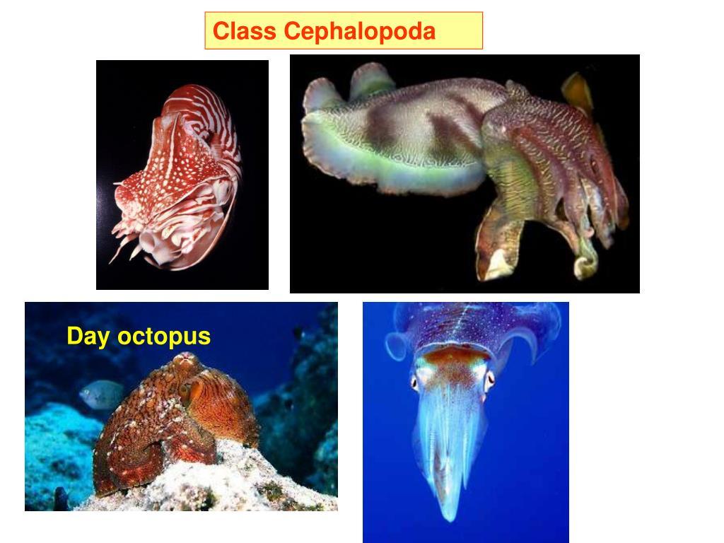 Class Cephalopoda