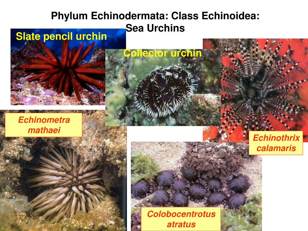 Phylum Echinodermata: Class Echinoidea:  Sea Urchins