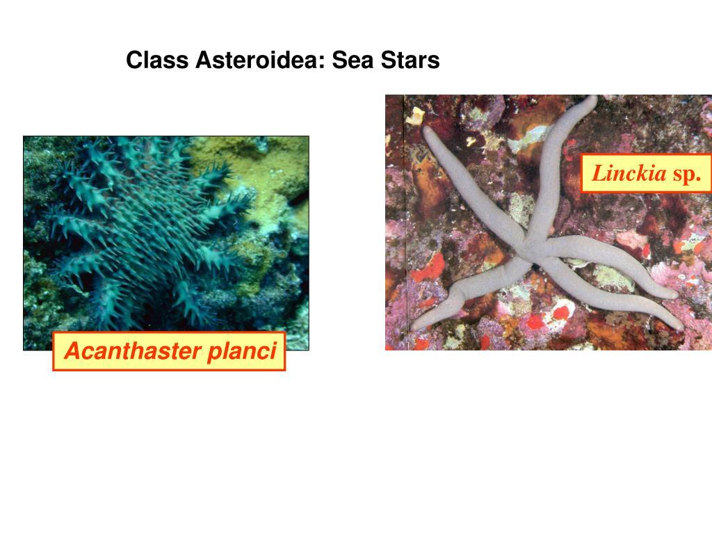 Class Asteroidea: Sea Stars
