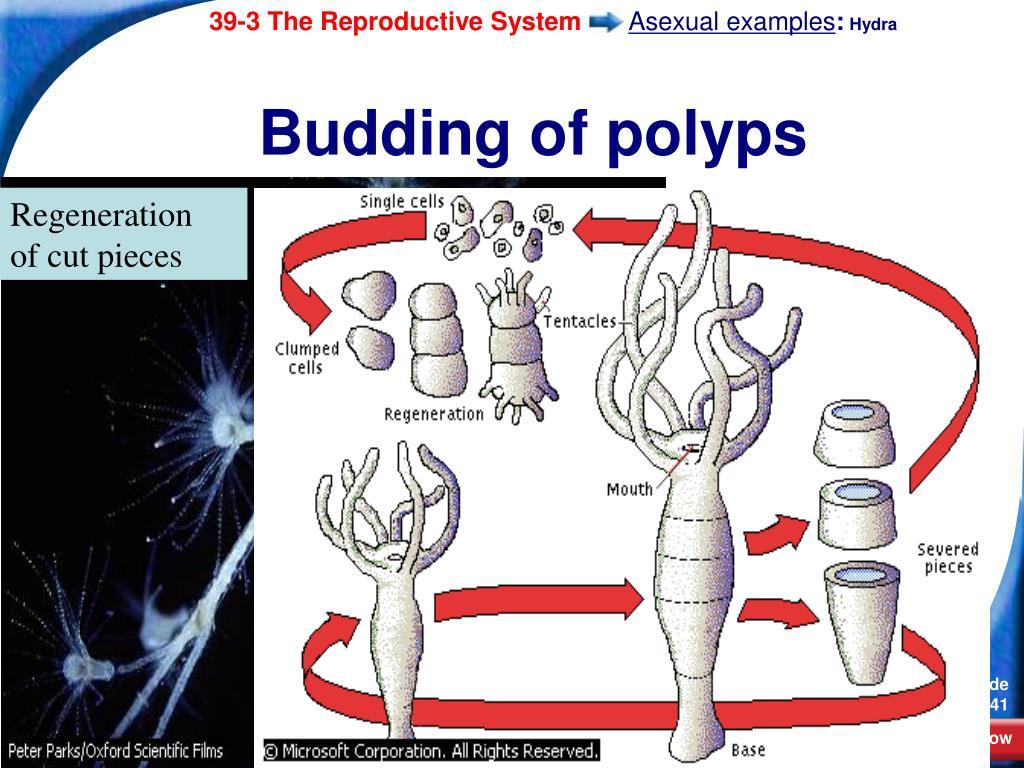 Budding of polyps